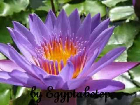 Egypt 439 the lotus flower by egyptahotep youtube mightylinksfo