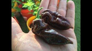 the bhut jolokia pepper