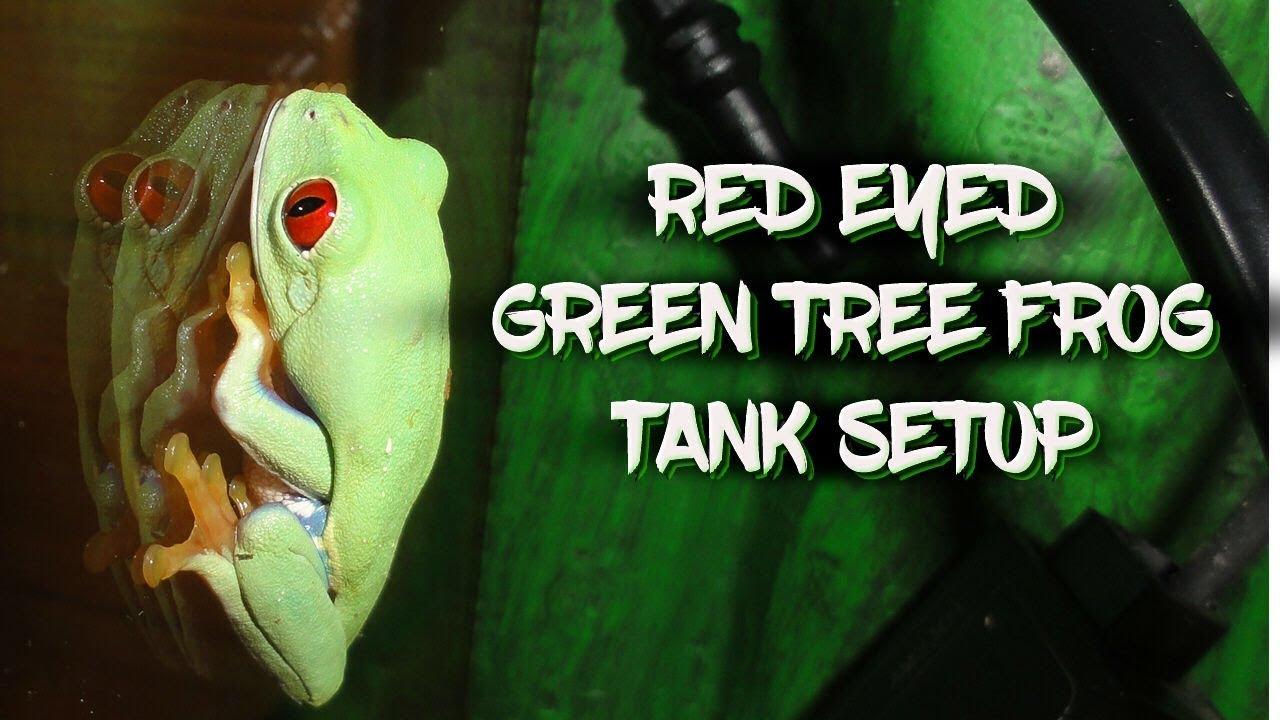 Red Eyed Green Tree Frog Tank Setup Youtube