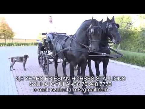 FRIESIAN HORSES FOR SALE  FRÍZ LOVAK ELADÓK  SZUHAI GYULA2