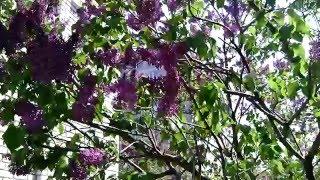 видео Сирень - это кустарник или дерево?