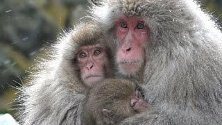 【SNOW MONKEY】 ☆Snow Life☆ Coming of Winter 地獄谷野猿公苑