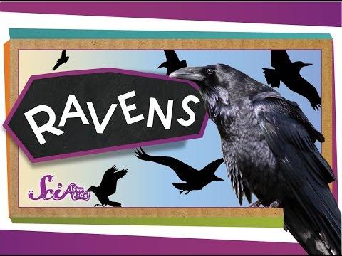 Ravens Are Super Smart! | Animal Science For Kids