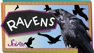4 Things You Didn't Know About Ravens