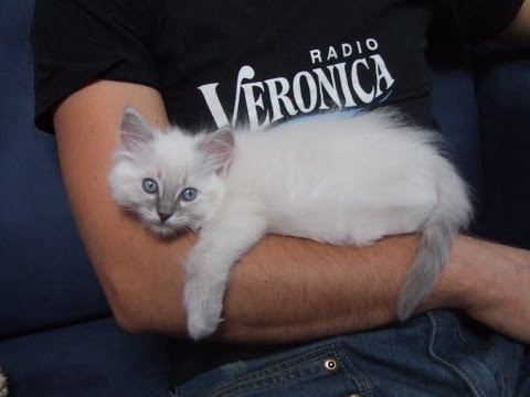 (Part 2) Ragdoll kitten give big hugs to my boyfriend!