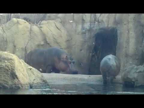 Fiona and Bibi   Cincinnati Zoo on February 20, 2018