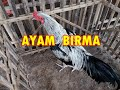 Ayam Birma Asli Di Pasar Ayam Jepara Jawa Tengah  Mp3 - Mp4 Download