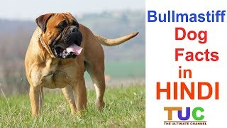 Bullmastiff Dog Facts In Hindi | Popular Dogs | Dogs And Facts | The Ultimate Channel