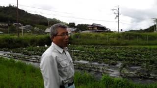 無農薬の安納芋と自然薯栽培.