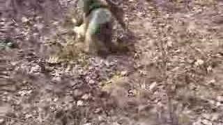 Australian Shepard Vs. Chihuahua/jack Russell Mix