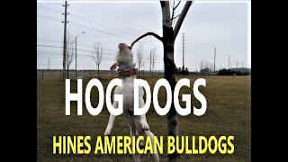 Hines American Bulldogs  yard video part 5 of 5