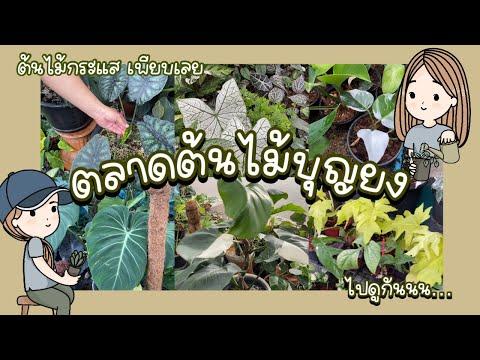 """ตลาดต้นไม้""""บุญยง""""ในนนทบุรีTree market, Bang Yai,I Wholesale Tree Market,Nonthaburi I논타 부리 나무 시장"""