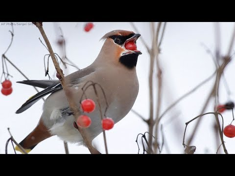 Muss - Minnesota's Drunk Birds! Can You Get An FWI - Flying While Intoxicated