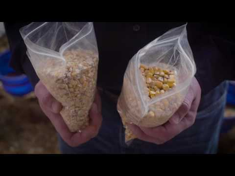 Benefits of Whole Corn in Calf Feed