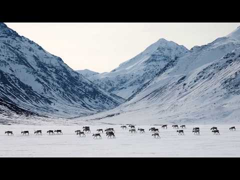 The Caribou Migration North | Gates of the Arctic National Park and Preserve, Alaska