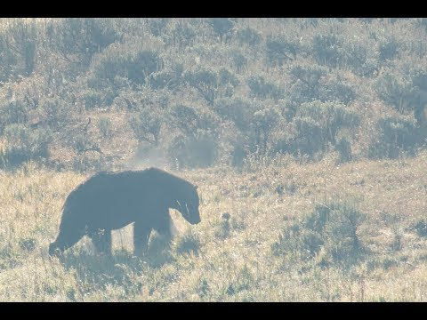 Yellowstone Bears Quarrel over Food