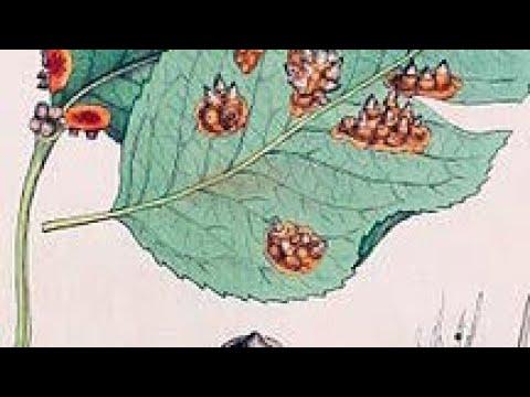 Яблоня.Вредители и болезни. Ржавчина листьев яблони. Признаки и методы борьбы.