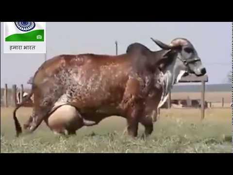 ये है गिर नस्ल की गाय जो देती है 100 लीटर दूध by Rahul Raj