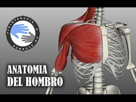 Anatomia y musculos del hombro - YouTube