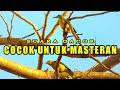 Burung Sriganti Suara Gacor Cocok Untuk Masteran Masteran(.mp3 .mp4) Mp3 - Mp4 Download