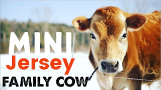 Mini Jersey Cow - The Perfect Miniature Family Cow