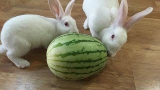 當兔子遇上西瓜|Cute Rabbits Eat Watermelon