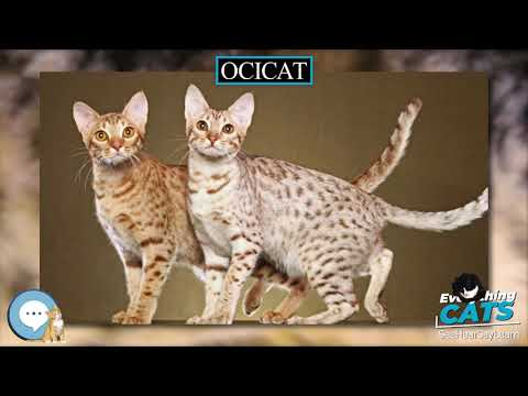 Ocicat 🐱🦁🐯 EVERYTHING CATS 🐯🦁🐱