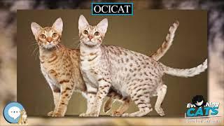 Ocicat  EVERYTHING CATS