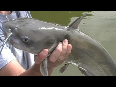 Monster Blue Catfish Trip!!! 356 lbs of catfish in 8 hrs. from YouTube · High Definition · Duration:  8 minutes 49 seconds  · 65,000+ views · uploaded on 1/22/2014 · uploaded by Catfish and Carp