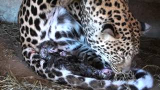 Leopard Birth, As Close-up As It Gets
