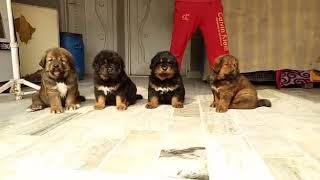 Tibetan mastiff puppies available for sale in India. Please call us on 9582828266 & 9910504304.