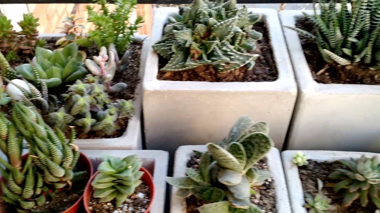 Mi colecci n cactus echeverias crassulas plantas for Vivero de cactus en chile