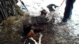 Coonhound Training (jenny Treeing Walker Pup)