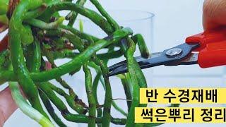 반 수경재배 썩은 뿌리 정리 하는 방법& 블루사…