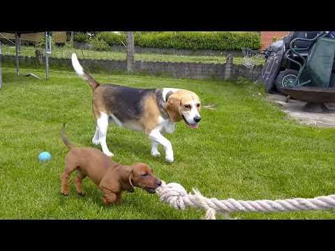 Teckel & Beagle, Livia & Ella 2019
