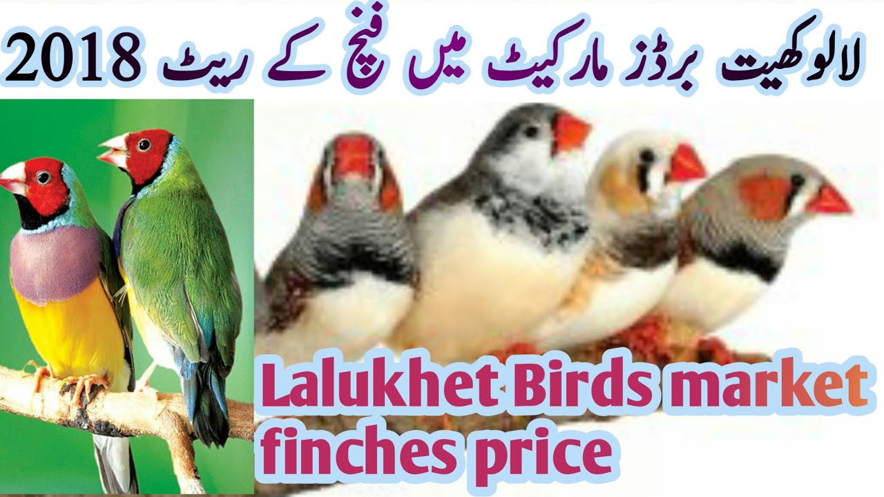 Finches mutations for sale in lalukhet birds market Olx