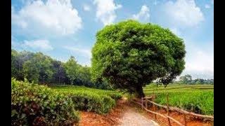 عبيد العوني شجر الفيكس الظل والجمال ficus tree
