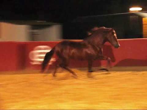 Fakir VI - 100% Chestnut Escalera Stallion At Stud in CA.