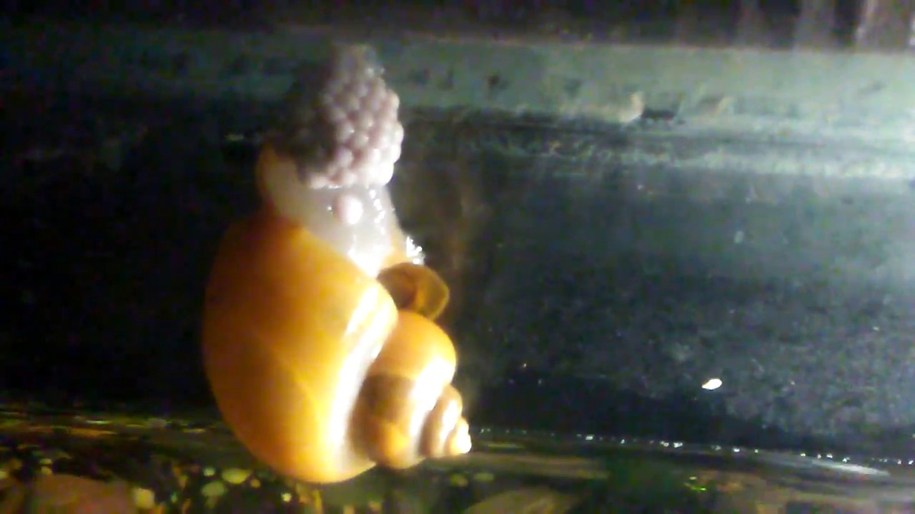 Mystery Snail Laying Eggs!