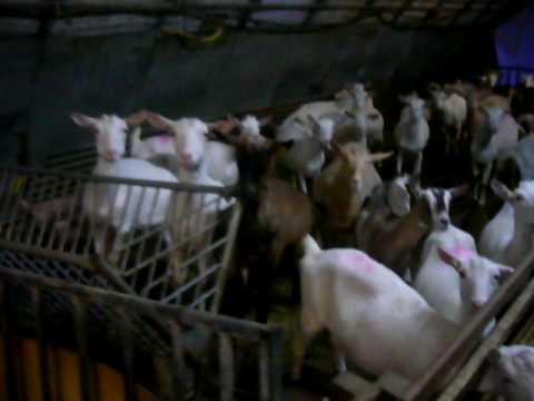 Ptt Tour Dans Une Chèvrerie Avant La Traîte