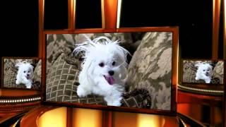 Kodi Welti - A Cute Maltese Dog