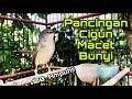 Masteran Ciblek Gunung Gacor Ngebren Cocok Untuk Pancingan Cigun Macet Bunyi Manuk Gacor Channel  Mp3 - Mp4 Download