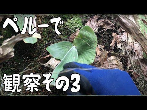 WATCH! Platycerium andinum on Manchinga( tree climbing )