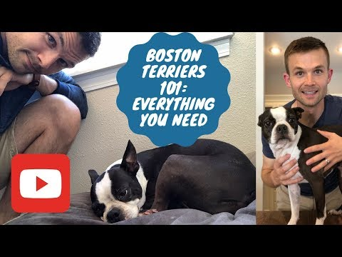 Article: Boston Terriers 101 Everything You Need To Know And More About Boston Terriers