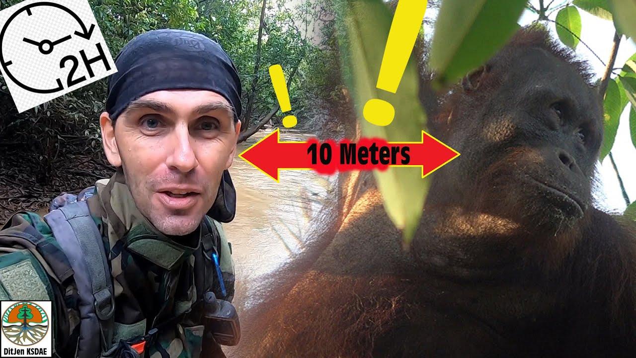 2 heures avec un orang-outan (sans qu'il détecte ma précense).