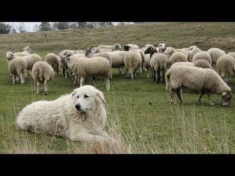 Maremma Sheepdogs | Fearless Flock Guardians
