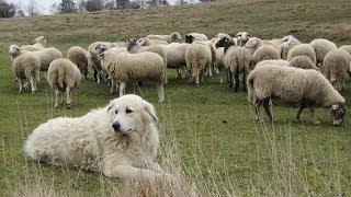 Maremma Sheepdogs | Fearless Flock Guardians
