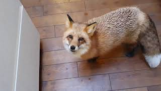 ЛиСяо. Алиса - Лиса Прикольные Моменты с Алисой Сборник 3  Alice The Fox