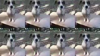 Видео собака Джина