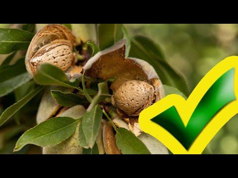 МИНДАЛЬ. Как добиться урожая с дерева миндального ореха